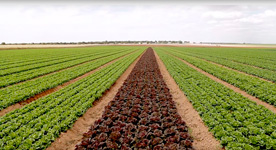 One million lettuces sell la Costa Cálida in Germany